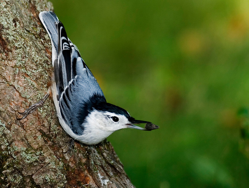 White-breasted Nuthatch.jpg