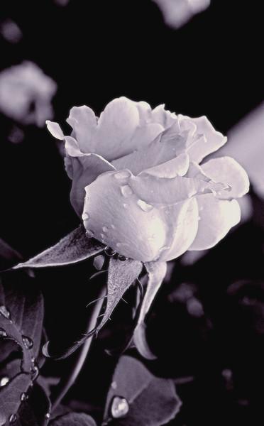 White rose best.jpg