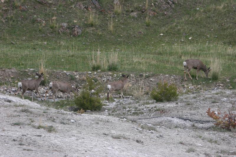 Elk in Hayden Valley