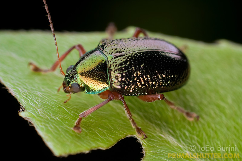 A metallic leaf-beetle (Chrysomelidae), in Intervales State Park, Brazil. South-east atlantic forest reserve, UNESCO World Heritage Site.