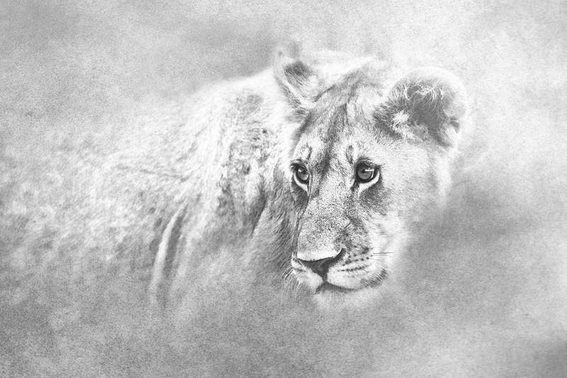 Lion _MG_9223d.jpg