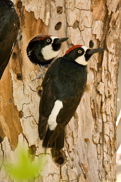 Acorn woodpeckers at Sycamore tree nest.