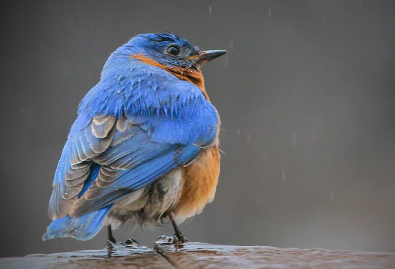 Mr Bluebird in the Rain
