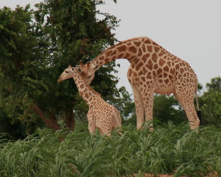 giraffes-434271741-O.jpg