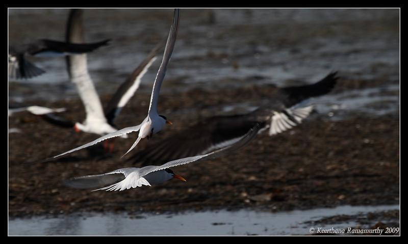 Elegant Terns, Robb Field, San Diego River, San Diego County, California, April 2009