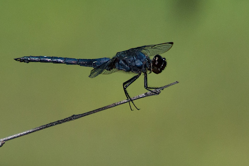 Dragon fly-20.jpg