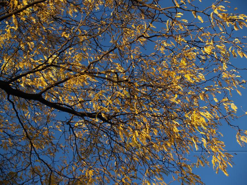 Branches of Honey Locust (Gleditsia triacanthos) in autumn; Quakertown, PA