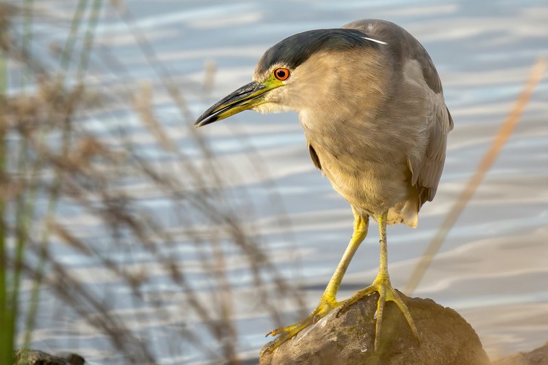 Black-crowned Night Heron at Don Edwards Refuge (South Bay)