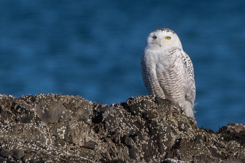 Snowy Owl - NH Coast