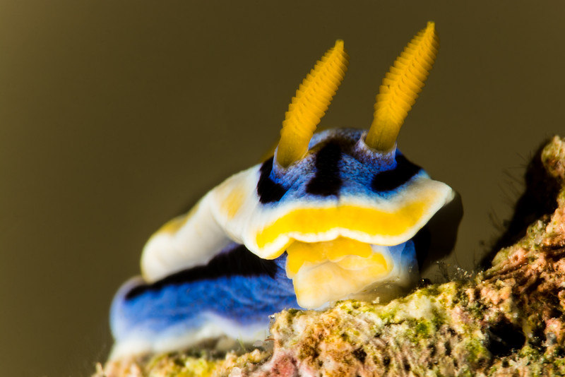 Anna's Chrimodoris (Nudibranch), grows to 4 cm
