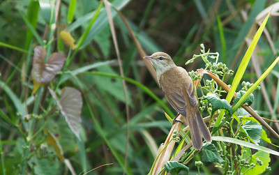 Acrocephalus stentoreus - Clamorous Reed Warbler