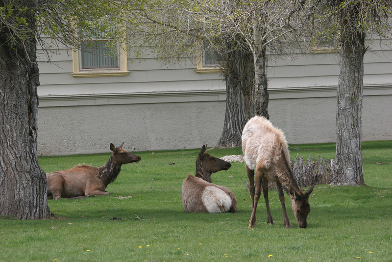 elk at Mammoth Hot Spring
