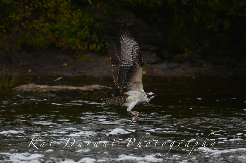 Osprey Fishing At Canal