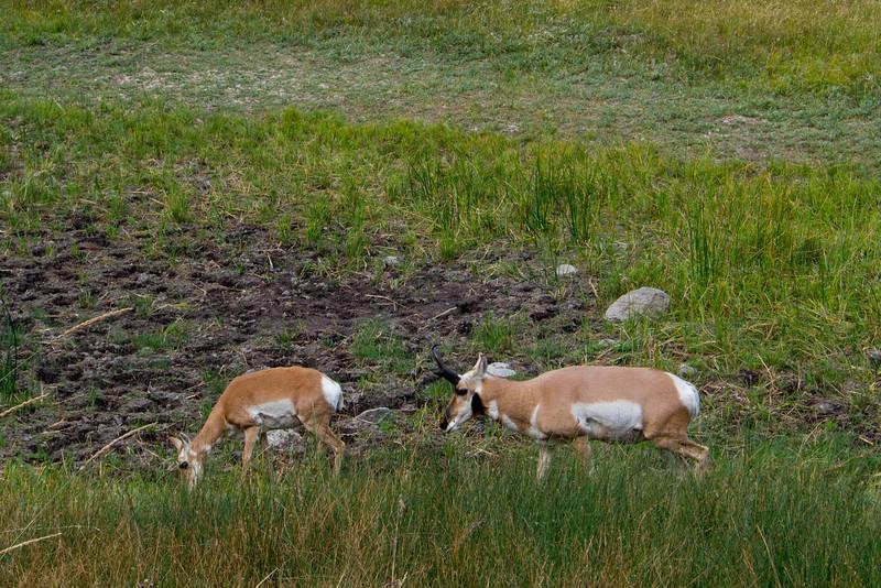 yellowstone deer like animals.jpg
