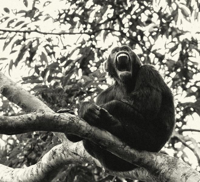Uganda_T_Chimps-961.jpg