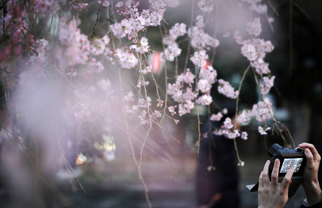 . A visitor photographs cherry blossoms which begin their bloom at the Ueno Park in Tokyo Friday, March 16, 2018. Tens of thousands of admirers will be expected to show up at the park to enjoy the flowers. (AP Photo/Eugene Hoshiko)