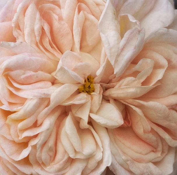 Vintage Rose_DSC7449.jpg