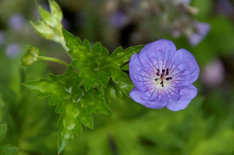 Geranium (6).jpg