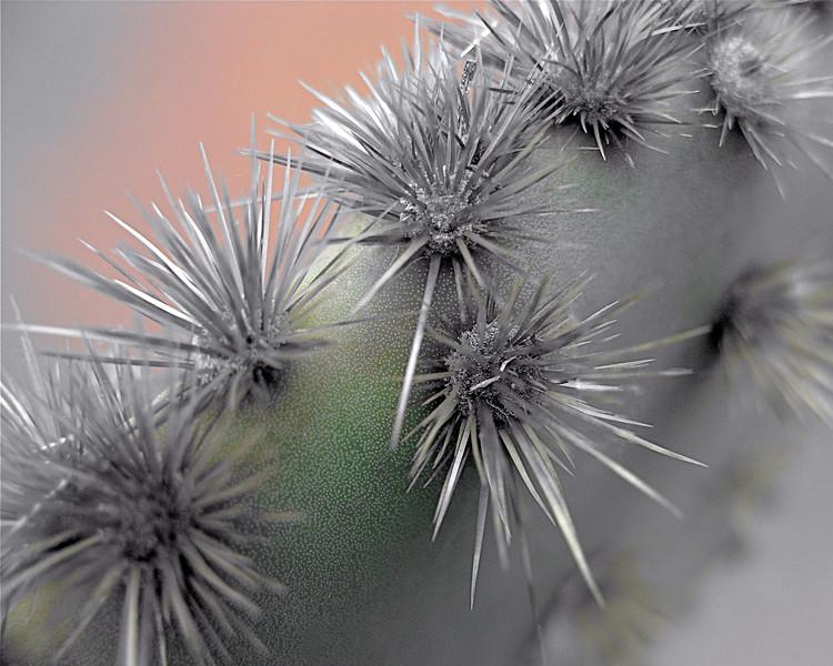 Opuntia aciculata.jpg