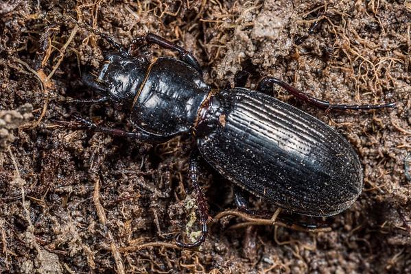 Genus Mecodema, unidentified