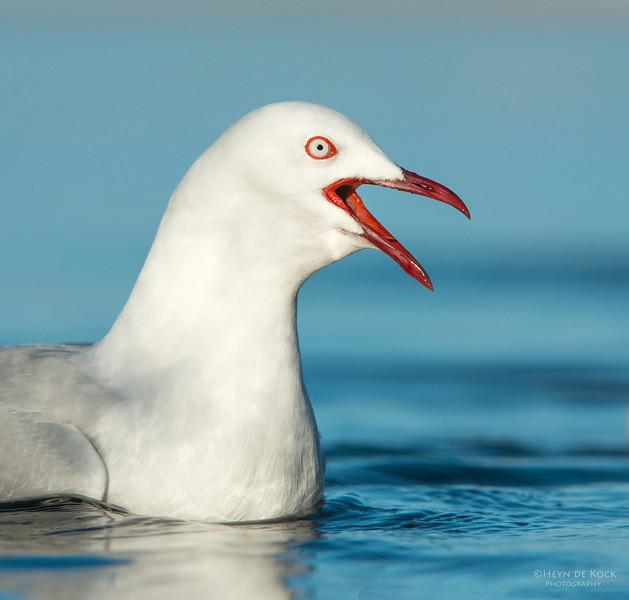 Silver Gull, Bellambi Lagoon, NSW, Aus, Jun 2013-1.jpg