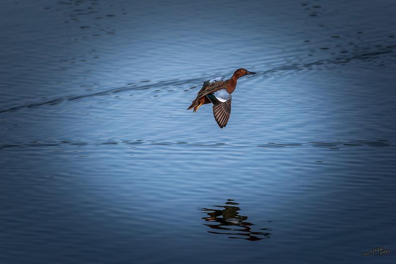 Cinnamon Teal in Flight.jpg