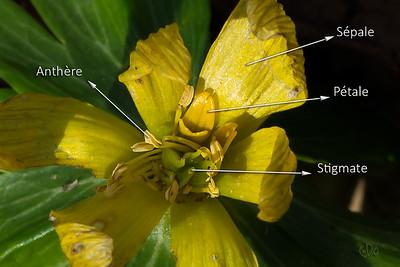 Hellébore d'hiver (Eranthis hyemalis)