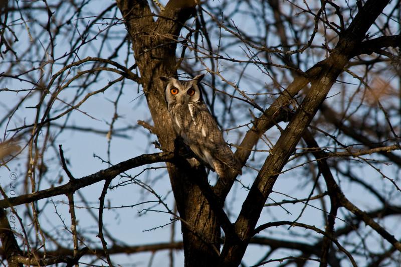 scops owl.jpg