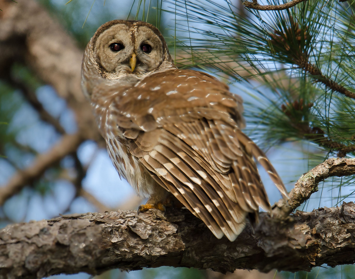 This is a Barred Owl that was on Moccasin Track, as well as all of the rest of the photos of Barred Owls.
