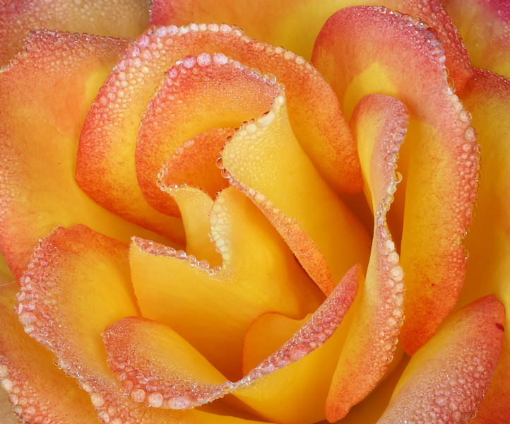 RedGold Rose