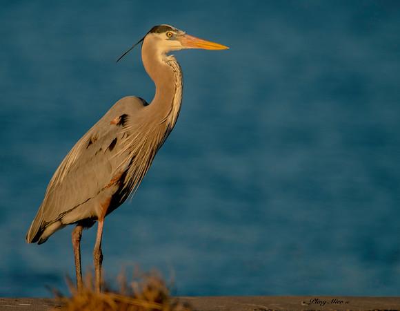 Great Blue Heron_DWL6238.jpg