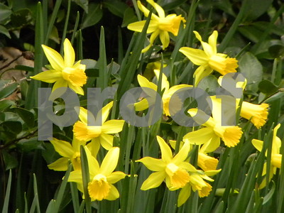 daffodils-sure-to-brighten-your-day