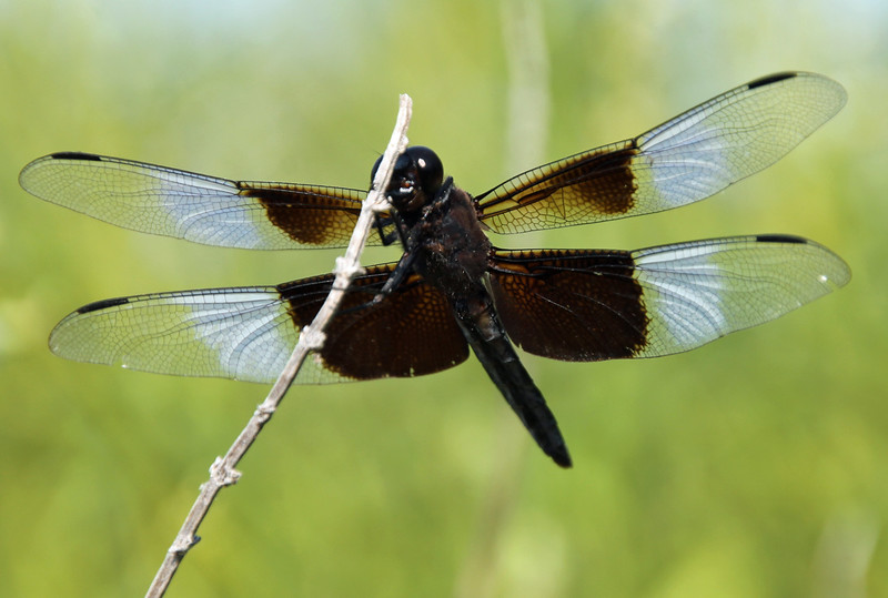 Widow Skimmer 2