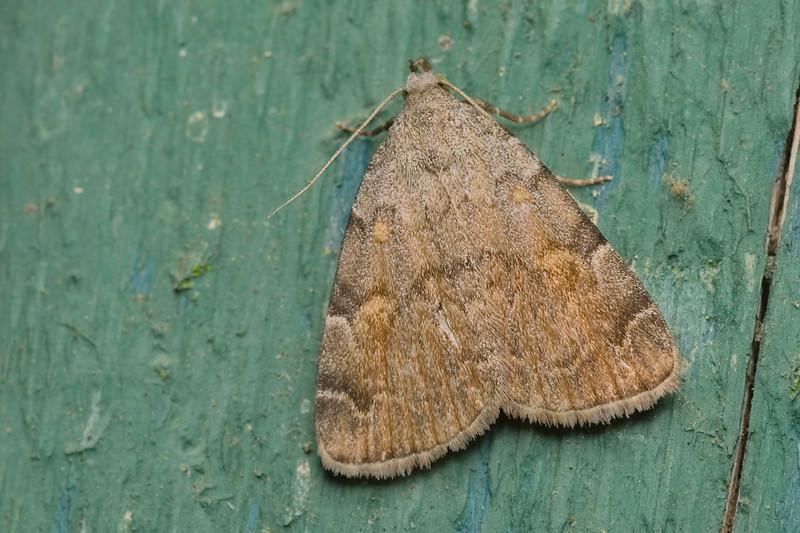American Idia Moth