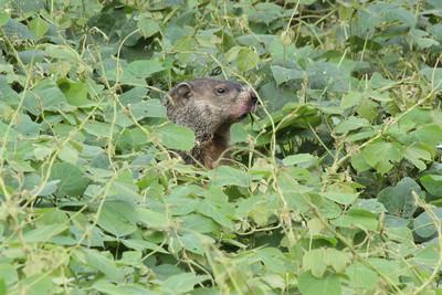 Groundhog videos
