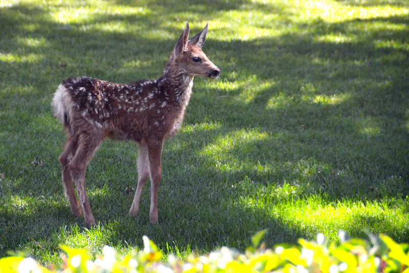 2012-7-10 ––– Even though my office building is located in a very busy section of town, we get a large number of wild animals that rome the grounds. A mother and two fawns were just outside my window this morning. I'm guessing that as dry and hot as it is, they've moved down off the foothills to graze on the lush grass and vegetation around our buildings, as well as enjoy the plentiful shade.