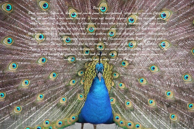 peafowl 00019.jpg