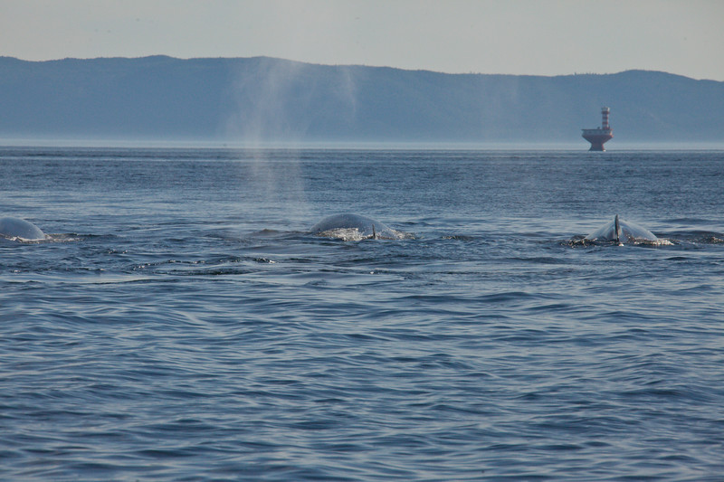 2011 quebec whale watching (38 of 80).jpg