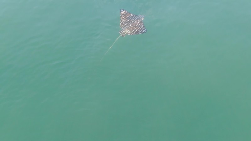Spotted Eagle Ray Video