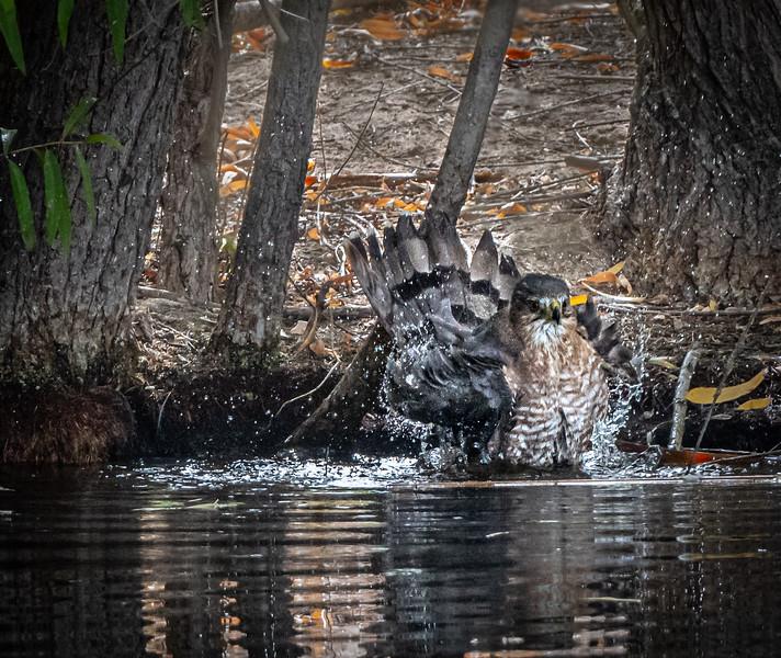 Cooper's Hawk bath #2