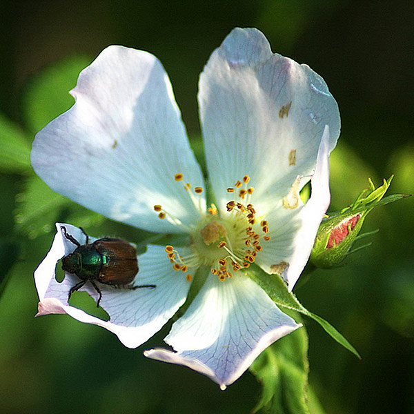 Dog Rose snack 4 x 4 5597.jpg