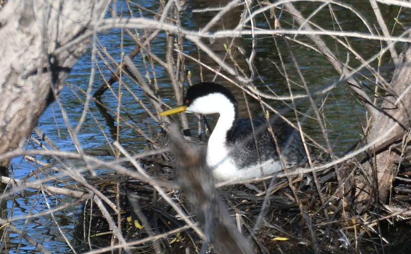 Western Grebe  - 4/28/2019 - Lake Hodges Bernardo Bay Trail