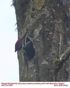 Pileated Woodpecker M21865.jpg