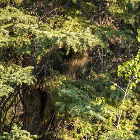 New World Porcupines