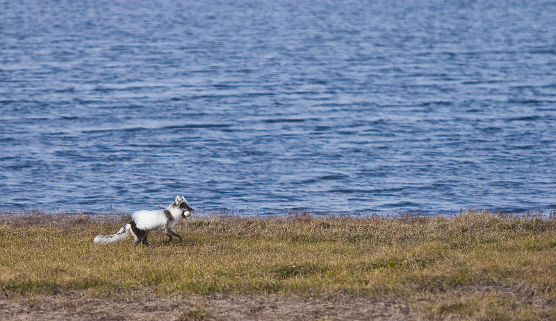 Arctic fox with white-fronted goose egg, on the North Slope, Alaska.