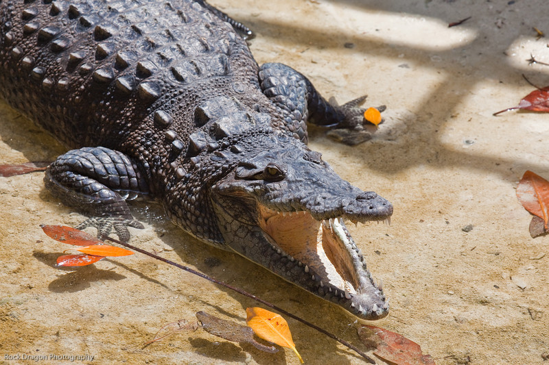 A crocodile  at the Xcaret Ecological park.