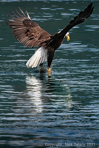 Bald Eagle Strike !
