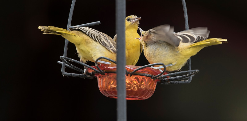 Three Hooded Oriole Youngsters