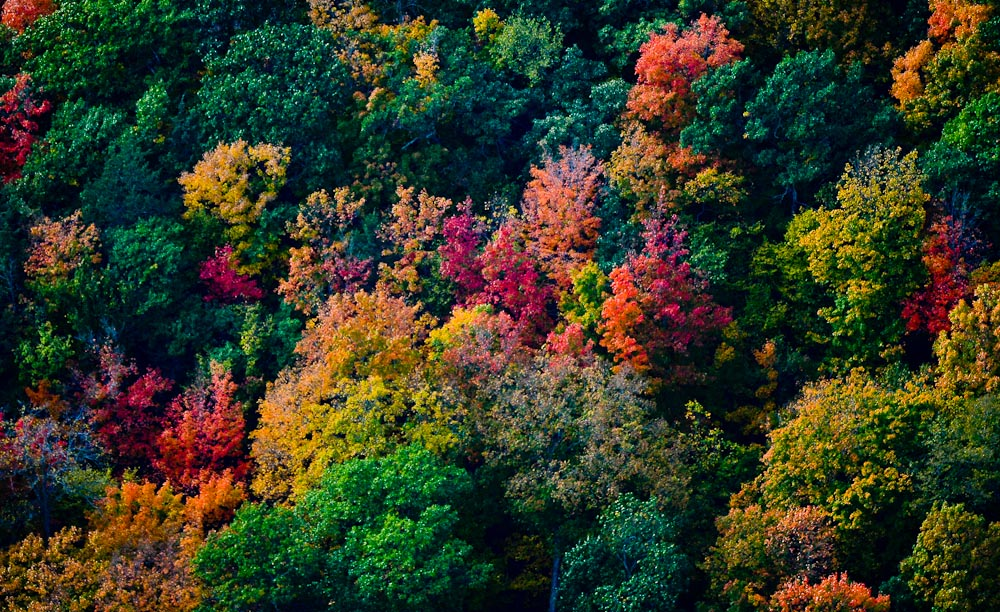 . Fall foliage shows its colors along the St. Croix River in an aerial photograph taken Oct. 8, 2013. (Pioneer Press: Ben Garvin)