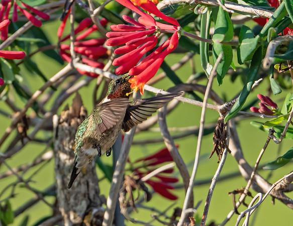 Hummingbirds 2021
